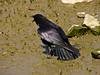 American Crow, <em>Corvus brachyrhynchos</em> Ballena Bay, Alameda, Alameda Co., CA 2012/3/12