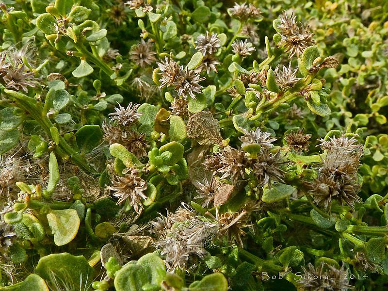 """<em>Baccharis pilularis ssp. pilularis</em>, Coyote Brush, native.  <em>Asteraceae</em> (= <em>Compositae</em>, Sunflower family). Crown Beach, Alameda, Alameda Co., CA, 2014/01/24, jm2p254.  <a href=""""http://bobsikora.smugmug.com/Photography/Central-California-Coast/10643723_rc2vPs#!i=2358826581&k=z4fBn9G"""">to see in blossom</a>"""