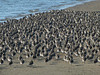 Dunlins with a scattering of Sanderlings for good luck.<br /> Crown Beach, Alameda, Alameda Co., CA 12/26/2011