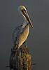 Brown Pelican, <em>Pelecanus occidentalis</em> San Francisco Bay, Alameda, Alameda Co., CA 11/29/2011