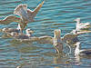 Glaucous-winged Gulls, <em>Larus glaucescens</em> Gullapalooza herring run Ferry Point, Richmond, Contra Costa Co., CA 2/27/2012