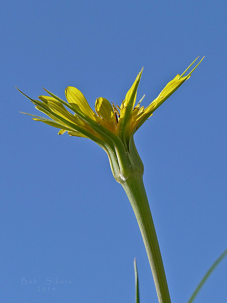<em>Tragopogon dubius</em>, Yellow Salsify, Europe.   <em>Asteraceae</em> (= <em>Compositae</em>, Sunflower family). Crown Beach, Alameda, Alameda Co., CA, 2014/12/28, jm2p437.