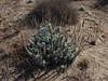 <em>Artemisia pycnocephala</em>, Beach Sage, native.  <em>Asteraceae</em> (= <em>Compositae</em>, Sunflower family). Crown Beach, Alameda, Alameda Co., CA, 2014/01/30, jm2p252.