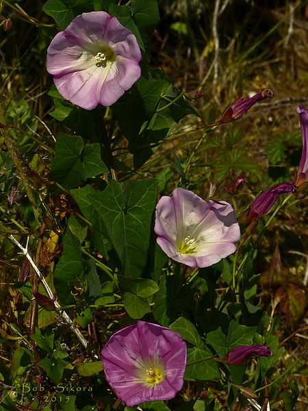 <em>Calystegia purpurata ssp. purpurata</em>, Purple Western Morning-glory, native.  <em>Convolvulaceae</em> (Morning-glory family). Brooks Island, Contra Costa Co., CA 2012/05/06, jm2p658