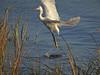 Snowy Egret, <em>Egretta thula</em>. South Shore, Alameda, Alameda Co., CA 11/30/2011