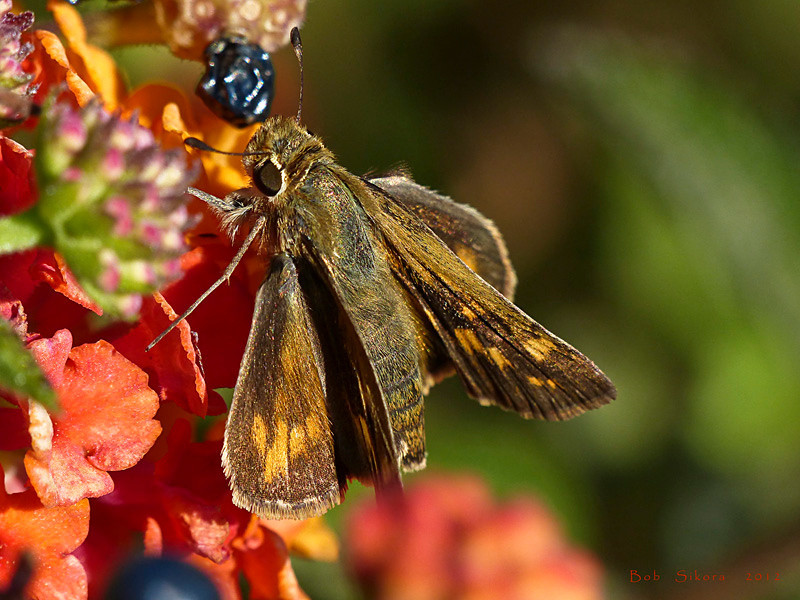 Fiery Skipper, <em>Hylephila phyleus</em>, f., on Lantana Ballena Bay, Alameda, Alameda County, CA 2012/09/15