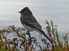 Black Phoebe, <em>Sayornis nigricans</em> San Leandro Channel, Alameda, Alameda Co., CA  2012/12/14