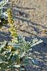 <em>Ambrosia chamissonis</em>, Silver Beach-weed, Beach-bur Crown Beach, Alameda, Alameda Co., CA, 2014/10/02, jm2p239.