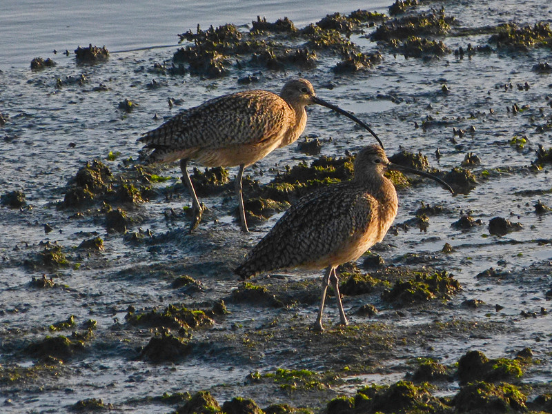 Long-billed Curlew, <em>Numenius americanus</em> Crown Beach, Alameda, Alameda Co., CA 11/26/2011