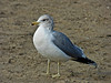 California Gull, <em>Larus californicus</em> Crown Beach, Alameda, Alameda Co., CA, 2012/12/17