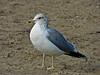 California Gull, <em>Larus californicus</em> Crown Beach, Alameda, Alameda Co., CA, 2012/12/17