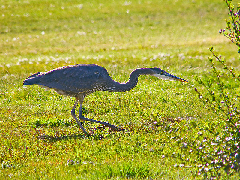 Great Blue Heron, <em>Ardea herodias</em> Arrowhead Marsh; Martin Luther King Regional Shoreline,Oakland, Alameda Co., CA 2/22/2012