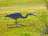 Great Blue Heron, <em>Ardea herodias</em> Arrowhead Marsh; Martin Luther King Regional Shoreline,Oakland, Alameda Co., CA 2/22/2012