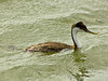 Western Grebe,<em> Aechmophorus occidentalis</em> Arrowhead Marsh, Martin Luther King Regional Shoreline, Oakland, Alameda Co., CA  2012/03/31