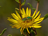 <em>Agapostemon sp. (texanus?)</em>, Metallic Sweat Bee, female. <em>Grindelia stricta var. angustifolia</em>, Marsh Gumplant Crown Beach, Alameda, Alameda Co., CA  2012/10/05