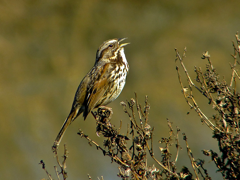 (Alameda) Song Sparrow, <em>Melospiza melodia pusillula</em> Arrowhead Marsh; Martin Luther King Regional Shoreline,Oakland, Alameda Co., CA 2/22/2012
