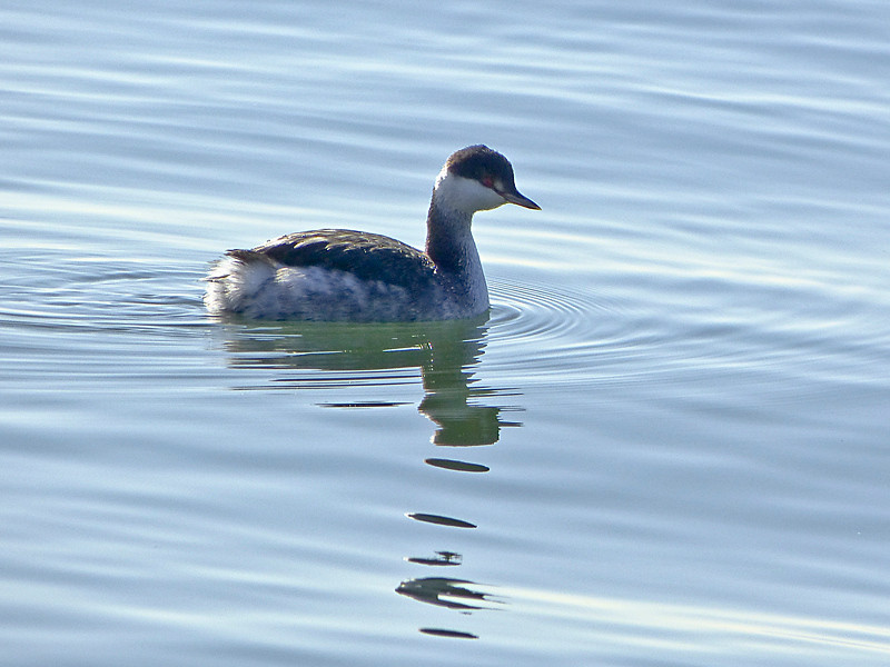 Horned Grebe, <em>Podiceps auritus</em> Crown Beach, Alameda, Alameda Co., CA 1/13/2012