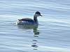 Horned Grebe, <em>Podiceps auritus</em> Crown Beach, Alameda, Alameda Co., CA 1/13/2012