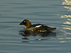 Common Goldeneye, <em>Bucephala clangula</em>, f. Lake Merritt Channel, Oakland, Alameda Co., CA 1/29/2012