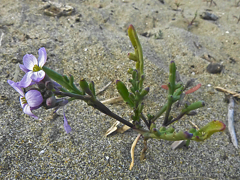 "<em>Cakile maritima</em>, Sea Rocket, Europe.  <em>Brassicaceae</em> (=<em>Cruciferae</em>, Mustard family). Crown Beach, Alameda, Alameda Co., CA, 2011/12/28, jm2p532  <A HREF=""http://bobsikora.smugmug.com/Photography/Central-California-Coast/10643723_rc2vPs#!i=3048944221&k=g63PWkJ"">More Cakile pictures.</a>"