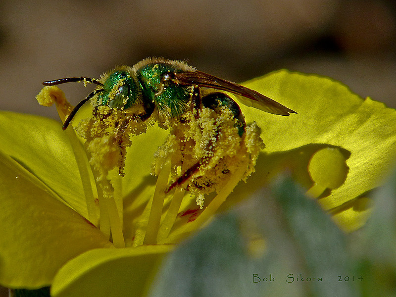 <em>Agapostemon texanum</em> Sweat Bee <em>Camissonia cheiranthifolia ssp. cheiranthifolia</em>, Beach Primrose or Suncup Crown Beach, Alameda, Alameda Co., CA, 2014/03/24