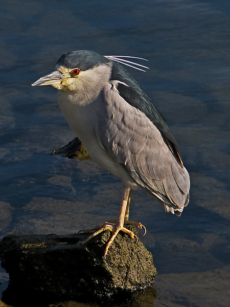 Black-crowned Night-heron, <em>Nycticorax nycticorax</em> Marina Bay, Richmond, Contra Costa Co., CA 11/26/2011
