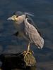 Black-crowned Night-heron, <em>Nycticorax nycticorax</em> Marina Bay, Richmond, Contra Costa Co., CA 11/26/2011