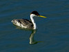 Western Grebe, <em>Aechmophorus occidentalis</em> Ballena Bay, Alameda, Alameda Co., CA 1/4/2012