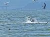 California Sea Lion,<em> Zalophus californianus</em>, catching sharks. Crown Beach, Alameda, Alameda Co., CA  2012/10/05