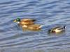 Hybrid Mallard? <em>Anas platyrhynchos</em> x ? San Leandro Channel, Alameda, Alameda Co., CA 1/6/2012