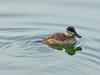 Ruddy Duck, <em>Oxyura jamacaiensis</em>, f. Ballena Bay, Alameda, Alameda Co., CA 1/2/2012
