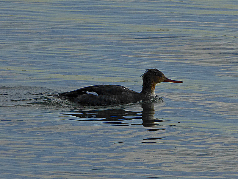 Red-breasted Merganser, <em>Mergus serrator</em>, f. Crown Beach, Alameda, Alameda Co., CA 12/28/2011