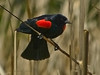 """Bicolored Blackbird,"" <em>Agelaius phoeniceus ssp.</em> Brooks Island, Richmond, Contra Costa Co., CA 2012/05/06"