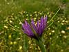<em>Tragopogon porrifolius</em>, Salcify, Oyster Plant, Europe San Leandro Channel (n. side), Alameda, Alameda Co., CA, 2012/05/11, jm2p437