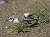 Snowy Plover, <em>Charadrius alexandrinus</em> Crown Beach, Alameda, Alameda Co., CA, 2014/12/23
