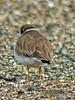 Semipalmated Plover, <em>Charadrius semipalmatus</em> Crown Beach, Alameda, Alameda Co., CA, 2014-12-22