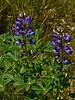 <em>Lupinus succulentus</em>, Arroyo Lupine. native.  em>Fabaceae</em> (=<em>Leguminosae</em>, Legume family). Brooks Island, Contra Costa Co., CA 2012/05/06, jm2p778