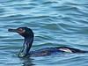 Pelagic Cormorant, <em>Phalacrocorax pelagicus</em> Point Isabel, Richmond, Contra Costa Co., CA, 2015/01/29
