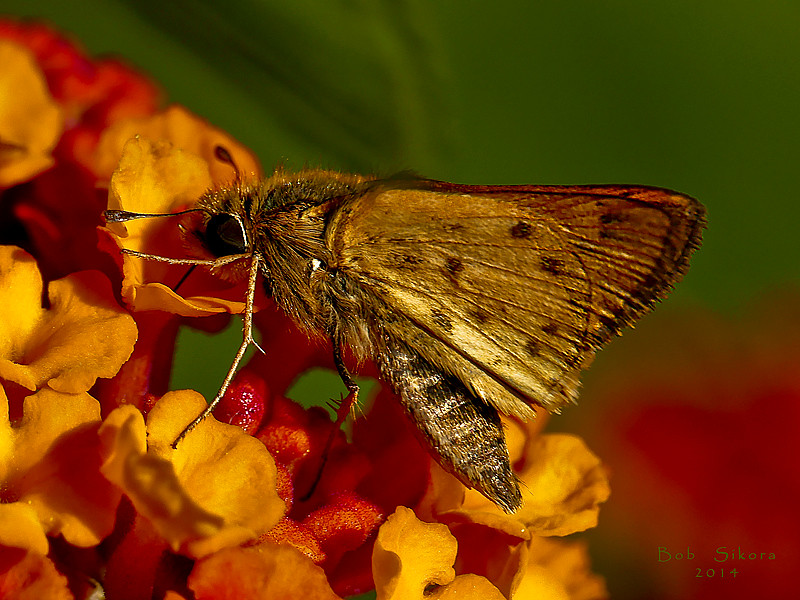 Fiery Skipper, Hylephila phyleus, m.<br /> on Lantana<br /> Ballena Bay, Alameda, Alameda Co., CA, 2014/10/02