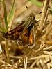 Sandhill Skipper, <em>Polites sabuleti</em>, m. Elsie Roemer Bird Sanctuary; Alameda, Alameda Co., CA  2012/05/22