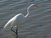 Great Egret, <em>Ardea alba</em> Ballena Bay, Alameda, Alameda Co., CA 1/4/2012