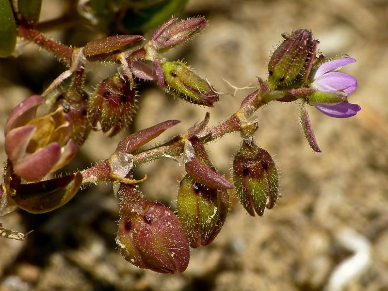 <em>Spergularia marina</em>, Salt Marsh Sand Spurry, native.  <em>Caryophyllaceae</em> (Pink family). San Leandro Channel (n. side), Alameda, Alameda Co., CA 2012/05/25  jm2p624