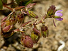 <em>Spergularia marina</em>, Salt Marsh Sand Spurry, native.  <em>Caryophyllaceae</em> (Pink family). San Leandro Channel (n. side), Alameda, Alameda Co., CA 2012/05/25  jm2p624