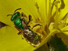 <em>Agapostemon texanum</em> Sweat Bee <em>Camissonia cheiranthifolia ssp. cheiranthifolia</em>, Beach Primrose or Suncup Crown Beach, Alameda, Alameda Co., CA, 2014/03/24