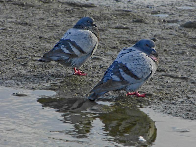 Feral Pigeon, <em>Columba livia</em> Crown Beach, Alameda, Alameda Co., CA 1/4/2012