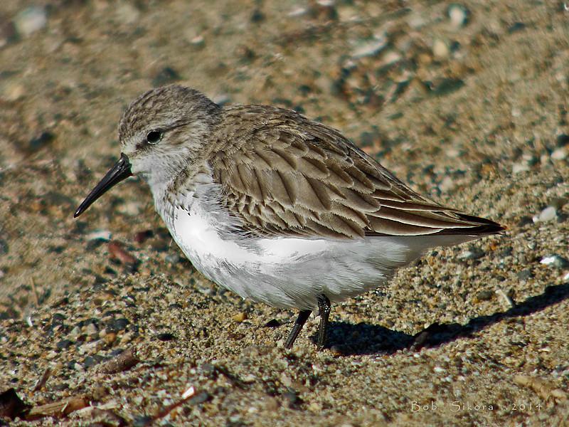 Western Sandpiper, <em>Calidris mauri</em> Crown Beach, Alameda, Alameda Co., CA, 2014/12/23
