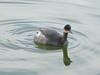 Eared Grebe, <em>Podiceps nigricollis</em> Ballena Bay, Alameda, Alameda Co., CA 1/2/2012