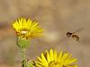 <em>Heterotheca grandiflora</em>, Telegraph Weed <em>Allograpta obliqua</em>, Hover Fly Elsie Roemer Sanctuary, Crown Beach Regional Park, Alameda, Alameda Co., CA, 2014/08/30.