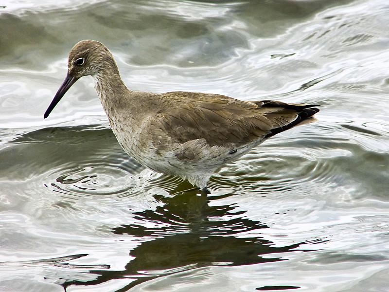 (Western) Willet, <em>Tringa semipalmatus inornatus</em> Ballena Bay, Alameda, Alameda Co., CA