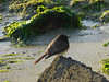 Black Phoebe, <em>Sayornis nigricans</em> Crown Beach, Alameda, Alameda Co., CA 12/23/2011